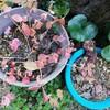 真冬の庭でミセバヤと白絹姫の春支度!