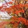 鹿沼公園の紅葉/黄葉 (11月28日現在)
