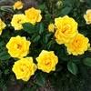 パパにおねだり〜つる薔薇用にアーチかオベリスクを手作りして〜!