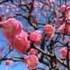 福岡舞鶴公園の梅 紅梅色と青空と♪