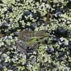 トウキョウダルマガエルが集まる奇跡の田んぼ