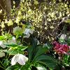 ヒュウガミズキ & ルッコラの花