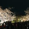 祇園白川の満開サクラ。