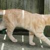 猫のしっぽが短い理由や曲がってるのは何故?