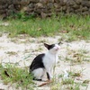 竹富島(+石垣島)の猫たち。