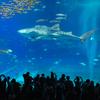 2019沖縄旅行-美ら海水族館までの大渋滞はヤバかったけど、ジンベエザメの写真は撮れました。 #水族館 #沖縄