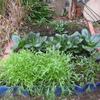 【家庭菜園】もうすぐで、初収穫の野菜あり!!家庭菜園の今。