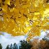 晩秋にはお気に入りの本に銀杏の葉を挿む。