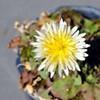 シロバナタンポポ開花