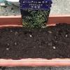 春咲球根を植えたよ(その3)