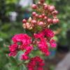 さるすべりの花を撮りました