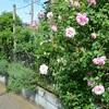 'スパニッシュビューティー'が華麗に咲き始めました