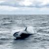 先月玄界灘に野生のシャチが出現!大地震の前兆か!?過去には東日本大震災の3日前にクジラの大量座礁!2019年中に巨大地震が起こるという予言も!
