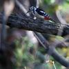 赤啄木鳥(アカゲラ)♀