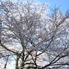 アマチュア的「桜の写真」の撮り方