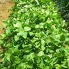 枝豆の成長具合