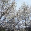 東京は桜満開だっていうけれど…