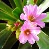 レウィシアの花