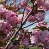 ソメイヨシノは去っても春の花は賑やかなようで(その2)