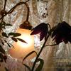 今日のお花 クロユリ 黒百合