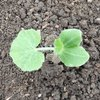 ウリ科野菜の植付け2