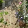 咲いたバラ、植えた花々。本日の庭にて