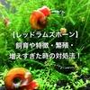 【レッドラムズホーン】 飼育や特徴・繁殖・ 増えすぎた時の対処法!