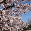 【YouTube 更新】鎌倉の早咲き桜は美しい。動画だともっと美しい。
