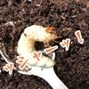 【ノコギリクワガタの幼虫】食痕か蛹室か?最後のマット交換②