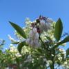 ◆ブルーベリーの花