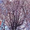 桜に褒められたい。