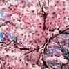慶州桜祭りツアー【ソウル発着】予約受付