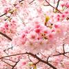 Hoa Anh Đào - 桜