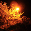 【桜だより】近所の桜2013とハルヒの舞台探訪【西宮】