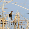 手賀沼の葦の茂みから湖面を低く飛んで移動するヒクイナ