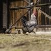 7,500羽の鶏が高速道路を封鎖 オーストリア
