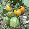 ミニトマトとジニア