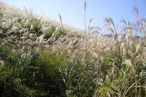 【雑学】自然観察指導員の徒然草=これで風流人の仲間入り! 秋の七草を覚えよう