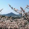 松山総合公園の花見