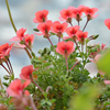 花盛りのベランダ2020 (6)