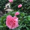 バラが咲いてた