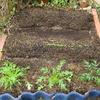 【家庭菜園】小松菜が発芽しました。