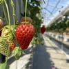れいわイチゴ園 いちご狩りの雰囲気や特徴、駐車場情報など:群馬県前橋市