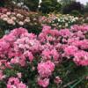 平塚の『花菜(かな)ガーデン』 ローズフェスティバル!第2弾(2021年5月12日)