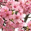 雨中の河津桜。通車公園にて。