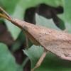 茶色いオンブバッタの知恵 & アオマツムシ・クビキリギス、厄介な樹・植物、「ロボット兵の思い」