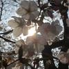 今年のさくら・桜・サクラ