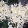 上野公園の白い彼岸花が見頃ですよ‼️
