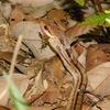 シマヘビ、ヤマカガシ