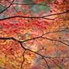 退蔵院の紅葉、見ごろと混雑状況。
